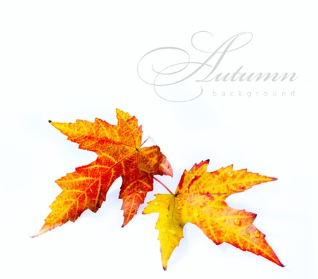 autumn wet maple leaf isolated on white background  photo