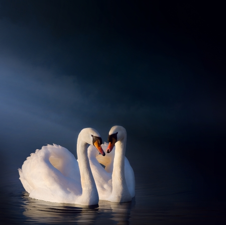 love couple: art love couple of swans