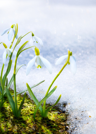 snow drops: Art Spring snowdrop flowers with snow in the forest