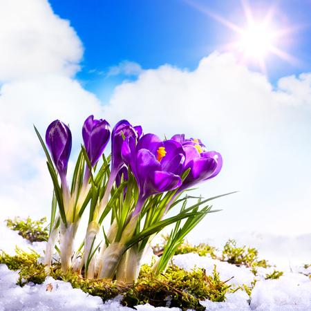 Beautiful spring flowers and snow Reklamní fotografie