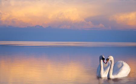 art  beautiful Two white swans on a lake
