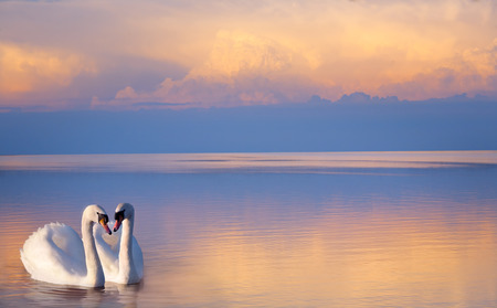 art  beautiful Two white swans on a lake