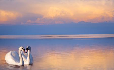 swan pair: art  beautiful Two white swans on a lake
