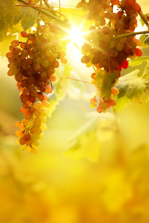 country landscape: Ripe grapes on a vine with bright sun background. Vineyard harvest season.