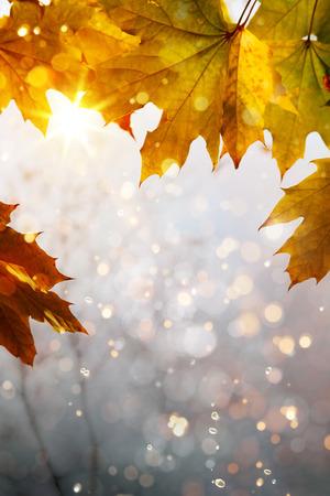 november: art yellow autumn maple leaves background  Stock Photo