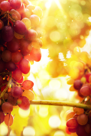Art Ripe grapes on a vine with bright sun background. Vineyard harvest season.  Reklamní fotografie