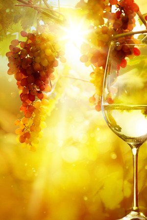 The glass of wine and Ripe grapes on a vine with bright sun background. Vineyard harvest season.