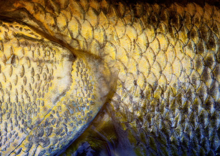 walleye: Art Real walleye Fish Scales Background Stock Photo
