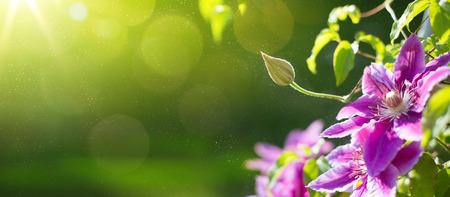 芸術の夏や春のクレマチスの花と美しい庭の背景