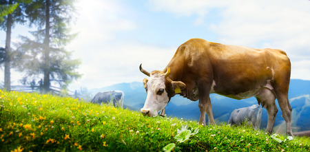 pastures: art cow grazing in a mountain meadow