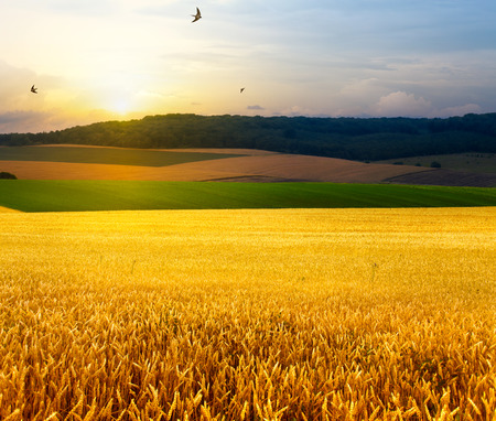 field sunset: art summer field, sunrise and blue sky