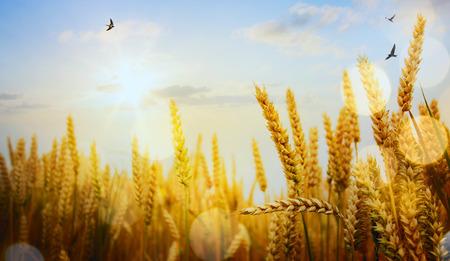 field sunset: yellow wheat field on the sunset