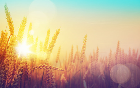 grain:  golden wheat field and sunny day Stock Photo