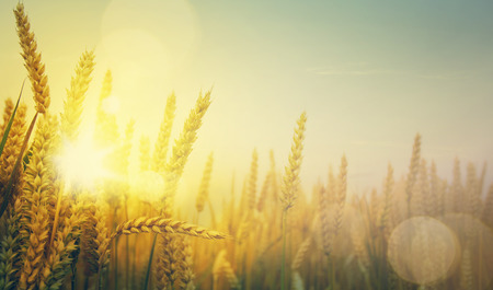 grain fields:  golden wheat field and sunny day Stock Photo
