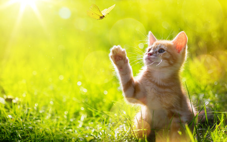 art Young cat  kitten hunting a butterfly with Back Lit