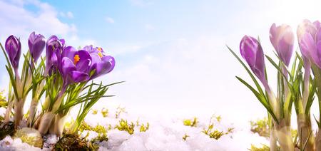 雪雪解けの snowdrops クロッカスの花 写真素材