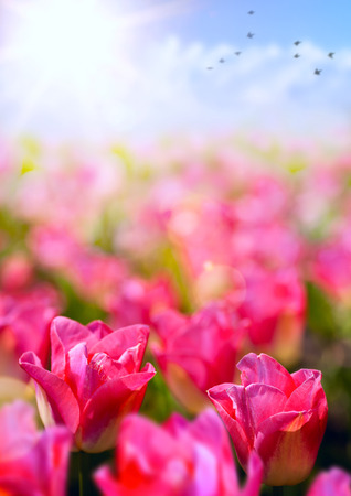 spring floral background; fresh tulip flower on blue sky background