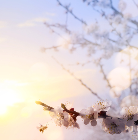 Spring floral background; beautiful Pink Blossoms tree and morning sky;