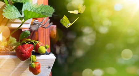 Spring or Summer fruit background; fresh  Strawberry on a green garden background