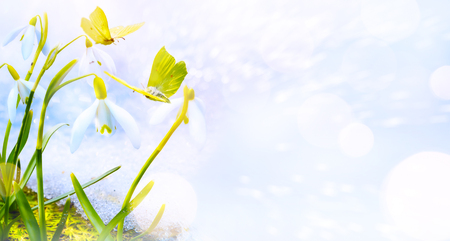 Spring floral background. Snowdrops flowers and butterfly Reklamní fotografie