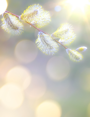 Art Spring  background with white blossom