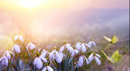 abstract nature spring Background; Snowdrop spring flower and fly butterfly Reklamní fotografie