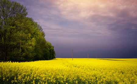 spring flowering countryside landscape; blooming yellow field