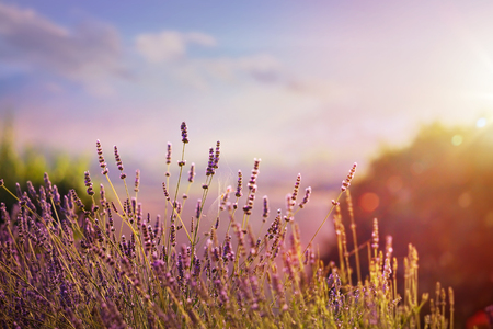 Blooming lavender in a field at sunset Imagens