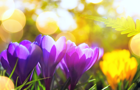 Springtime  background. Spring Flowers in Sunlight. Outdoor Nature