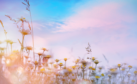 summer floral nature background;  sunset over meadow