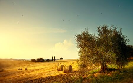 Summer countryside landscape; farm field and olives tree Stockfoto