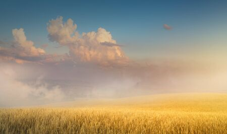 Beautiful cereals field in nature on sunrise, panoramic landscape; Ears of golden wheat.