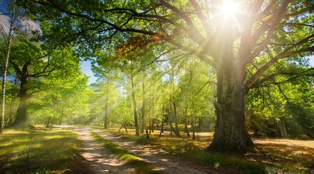 forest road and old oak forest with rays of the rising sun   Stockfoto