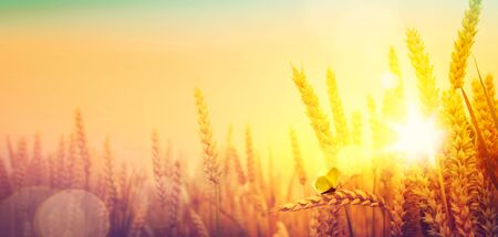 Krajobraz wiejski; wschód słońca nad letnim polem złotej pszenicy