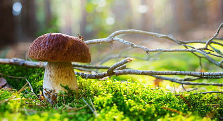 Art cep Porcini mushroom on the moss in sunny autumn forest. Autumn Nature background.