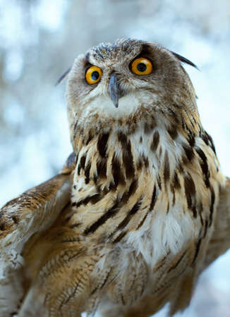 Wild eagle owl close-up. predator looks out for prey