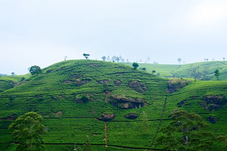 ceylon: landscape of plantations ceylon tea