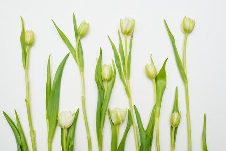 settled: Overhead shot of white tulips settled over white flat lay. Creative arrangement of tulips Stock Photo