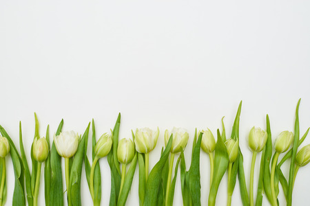 disposed: Top view of white tulips disposed in a line with a copy space above. Creative arrangement of tulips