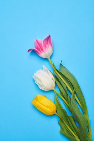 Three enchanting tulips lying on a blue flatlay with a copy space Stock Photo