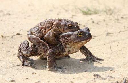 to creep: Two toads during the marriage period creep through road