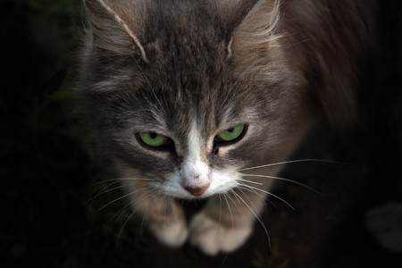 largely: Muzzle of a cat largely. The sight of a cat hypnotises