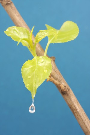 offshoot: Drop of water on first spring leaflet, revealing on offshoot of plant