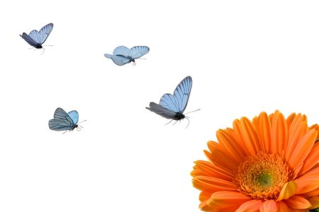 uncultivated: Azure butterflies fly to orange flower Stock Photo
