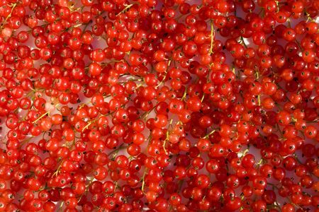 There are plenty of fruits of red currant photo