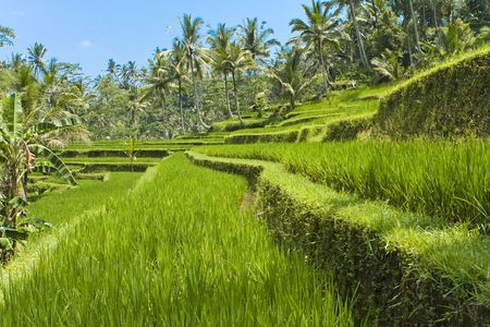 Kind on rice terraces, Bali, Indonesia Stock Photo - 5921564