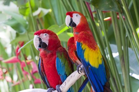 bright large tropical parrots sit on a branch and communicate photo