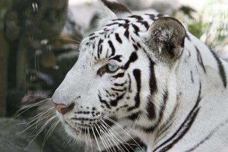 white tigers: Portrait of a white tiger Stock Photo