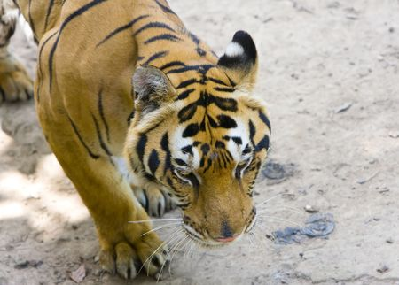 The tiger stolen on a track Stock Photo - 5921559