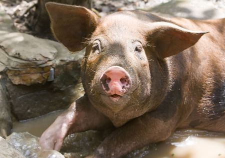 The big good-natured pig lies in a puddle Stock Photo